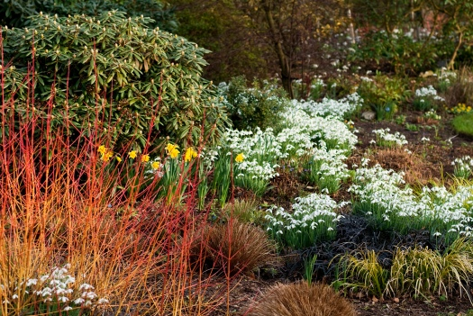 Perennials, Grasses, Shrubs and Bulbs, February, Winter. Cornus sanguinea 'Midwinter Fire', Dogwood, Dogberry, Carex, Sedge, Acorus gramineus 'Ogon', Ophiopogon planiscapus 'Nigrescens', Snake's Beard, Galanthus 'S. Arnott', Snowdrop, Narcissus 'Rijnveld's Early Sensation', Daffodil, Rhododendron.