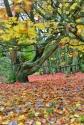 hidcote maple