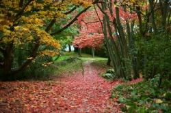 hidcote maples