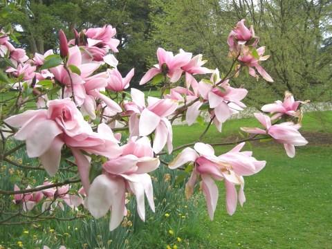 magnolie batsford